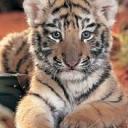 tigers lions avatars 0415